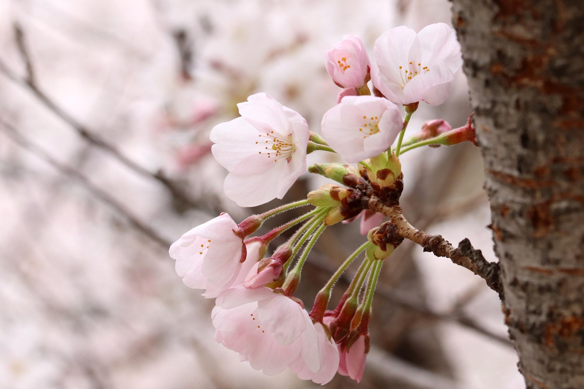 printemps en coree du sud
