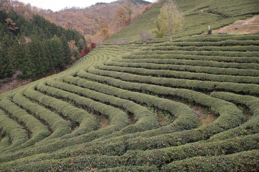 plantation thé vert boseong lieux à visiter en Corée du sud